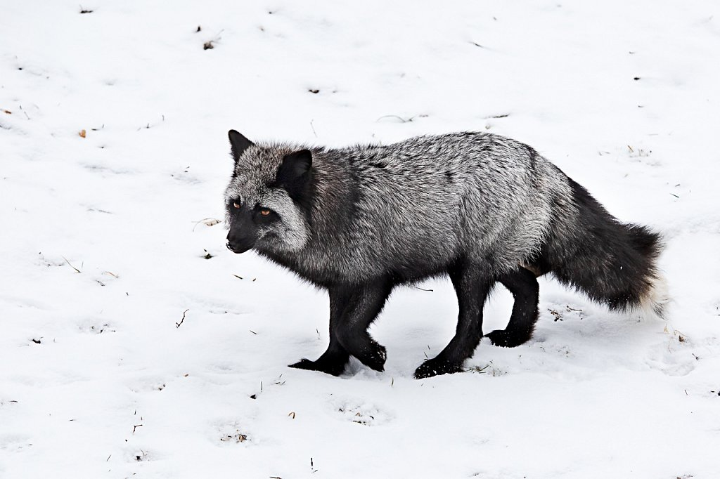 Silver Fox in the snow